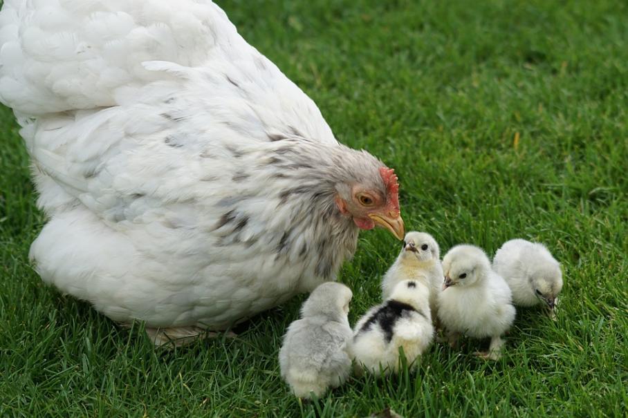 quand mettre poussins avec autres poules