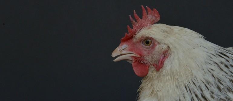 poule avec crete blanchatre