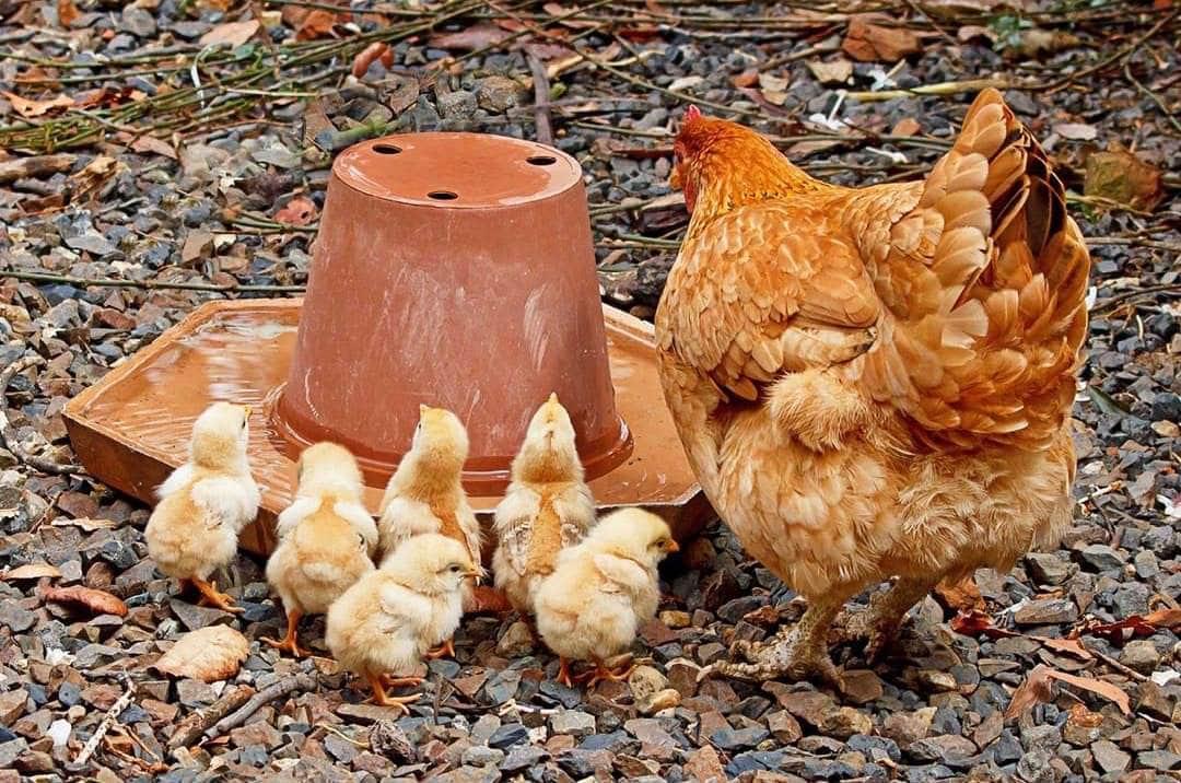 introduir poule dans poulailler