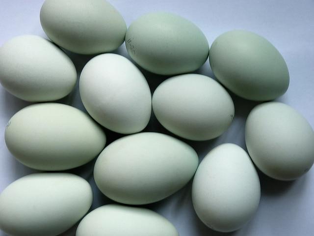 les origines et les caracteristiques de la poule araucana