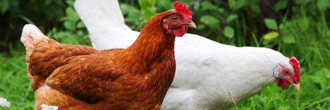l'alimentation de vos poules