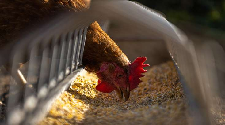 Insecticide poule
