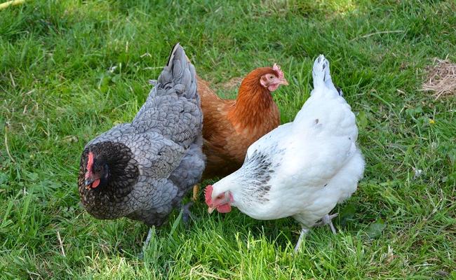 les caractéristiques de la la poule Sussex
