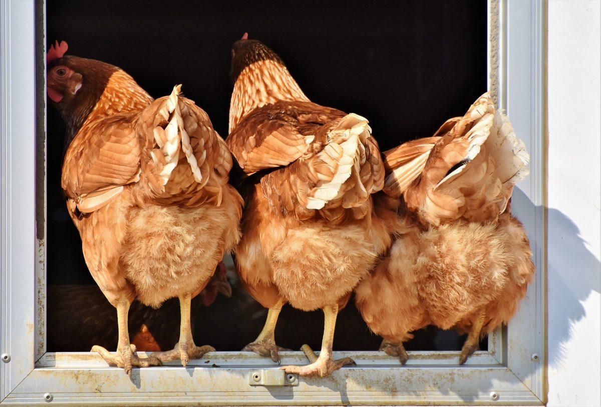 que mange poules