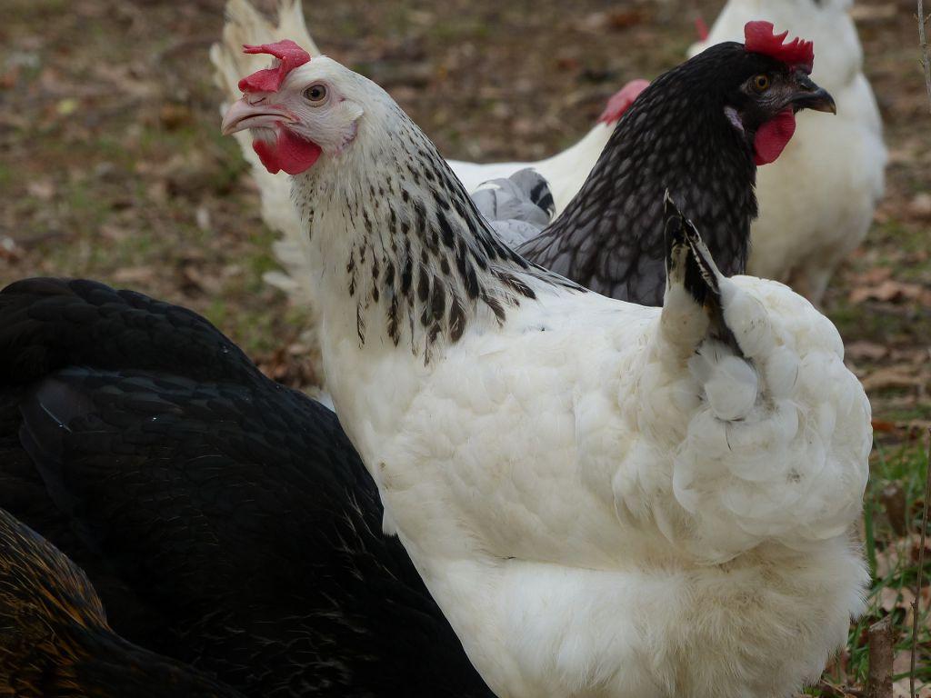 Sussex poule
