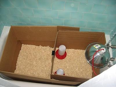 comment installer une lampe chauffante pour poussin dans un poulailler
