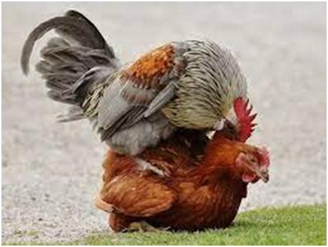 reproduction poules