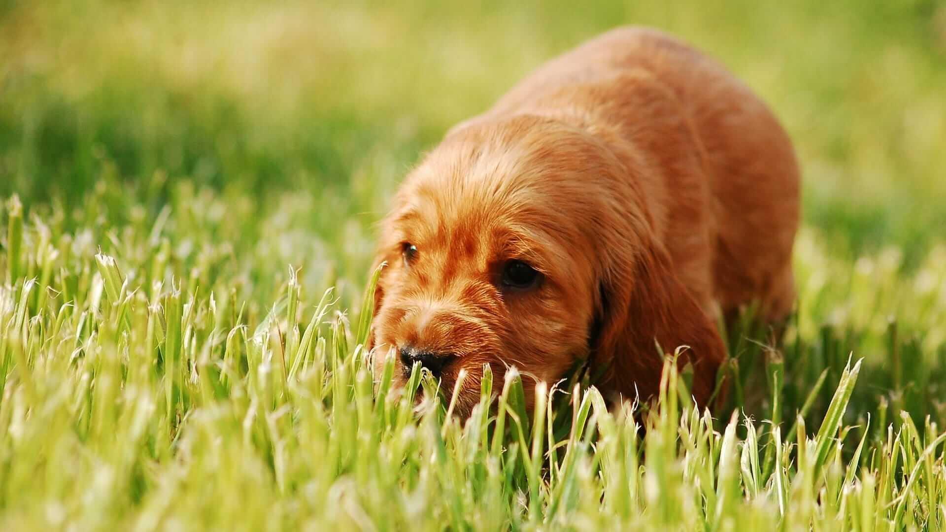 chien qui mange de l'herbe