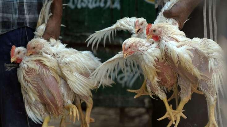 symptome grippe aviaire poule