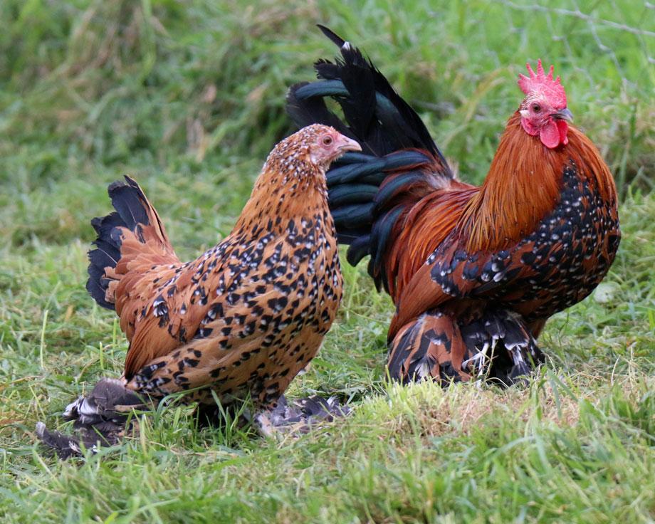 caractéristiques poule sabelpoot